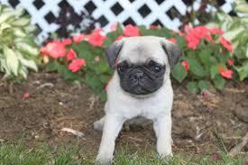 pug puppies houston tx pugs