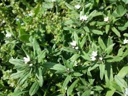 Buglossoides incrassata - Wikispecies