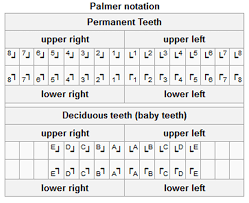 Teeth Numbering Systems Types And Importance Dental