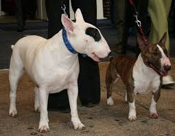 miniature bull terrier.  Bull A Standard White With A Brindle And Mini Bull Terrier Throughout Miniature Terrier E