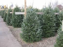 Christmas Trees - Sherwood Forest