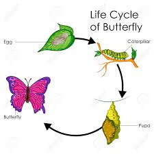 Education Chart Of Biology For Life Cycle Of Butterfly Diagram