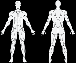 Interactive Muscle Chart Back Diagram Muscles Anatomy