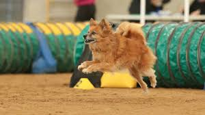 all sizes at the grand prix almost 300 dogs will pete against other dogs of