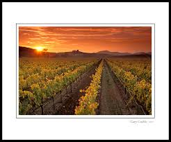 golden sunset over vineyard in the carneros region napa county california wine country