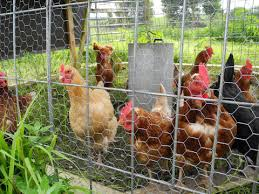 Raising chickens for eggs   UMN Extension