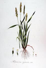 Fuchsschwanzgräser