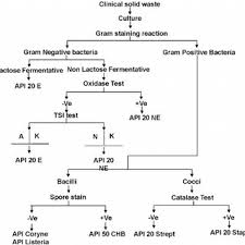 Flow Chart For The Identification Of Bacteria In Clinical