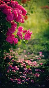 Pink roses flowers mobile wallpaper ...