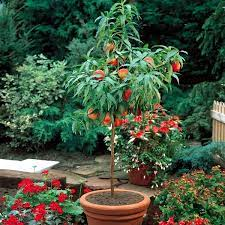 you can dwarf fruit trees in pots and