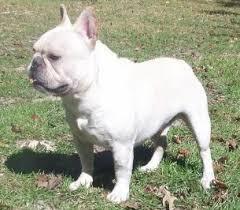 grown white french bulldog. Modren Bulldog French Bulldogs  AKC In Grown White Bulldog