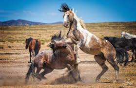 wild horses running through water. Interesting Through Wild Horses Fighting Over A Water Hole  For Horses Running Through Water D