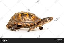 Eastern Box Turtle Image Photo Free Trial Bigstock