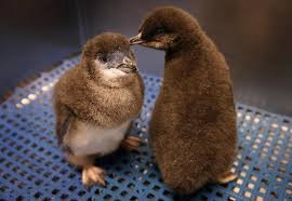 baby penguin.  Penguin A Pair Of Little Blue Penguin Chicks At The New England Aquarium In Boston Intended Baby Penguin A