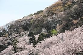 「音無山 桜」の画像検索結果