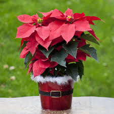 The Variety Of Cheerful Arrangements Available Online At Emilyu0027s Christmas Gift Plants