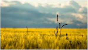 dry grass field background. DRY GRASS FIELD LANDSCAPE HD WALLPAPER Dry Grass Field Background 9 Wallpapers Hd
