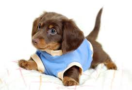 83 Dachshund HD Wallpapers