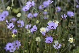 Catananche caerulea - BBC Gardeners' World Magazine