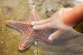 fascinating facts about sea stars a child s hand touching a starfish