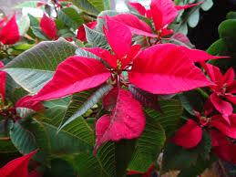 Weihnachtsstern Euphorbia Pulcherrima Gartenfeder