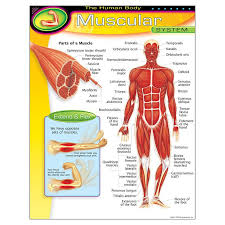 Bulletin Board Chart Educational The Human Body Muscular System