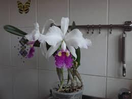 Cattleya lueddemanniana - Цветочный форум
