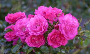 Rosenarten: Die 12 schönsten Rosenklassen - Plantura