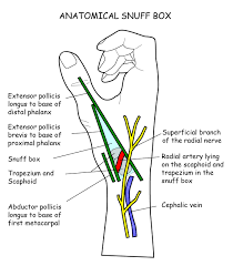 Image anatomical snuffbox ranzcrpart1 wiki fandom powered rh ranzcrpart1 wikia box anatomical snuff snuff box pain