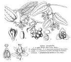smilacaceae