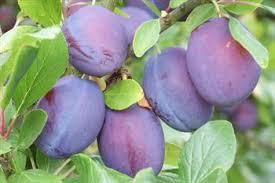 12 Best Tennessee Home Images On Pinterest  Fast Growing Trees Plum Fruit Tree Varieties