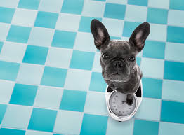 What Is The Ideal French Bulldog Weight