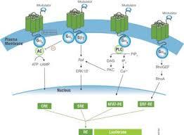 Gpcr Signaling Schematic Diagram Of Gpcr Signaling Pathways Pathways