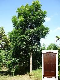 ทรงพุ่มต้นมะฮอกกานีตอนเบียดกับไม้อื่น