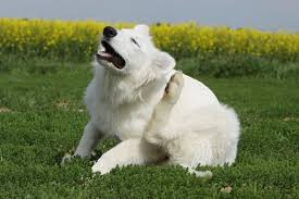 Dog Skin Allergies: Symptoms, Best Treatments and Vet`s Advices
