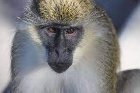 Monkey B virus first human infection case death beijing causes symptoms  latest news