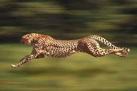 الفهود أكثر الحيوانات شراسة ورشاقة. Images?q=tbn:ANd9GcSlGbxyzta531rUpqcs73GR1v7eGy9KsOJSubDZZokuftrwfnhxpQ
