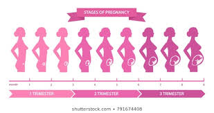 Pregnancy Stages Images Stock Photos Vectors Shutterstock