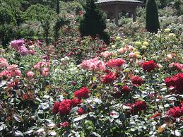 rose garden washington park portland oregon 2016 048 by janice dressley lost in