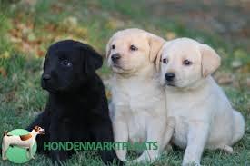 Labrador pups verwacht