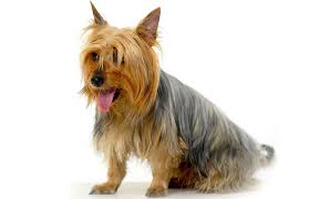 silky dog. silky terriers were created by crossing a yorkshire terrier with an australian terrier. by: dog