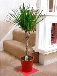 office pot plants. 1POPULAR-EVERGREEN-INDOOR-HOUSE-PLANT-POT-Office-Home- Office Pot Plants E