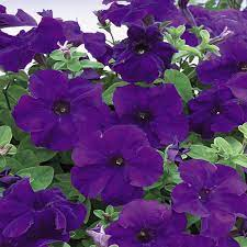 4 73 L Blue And Purple Petunia Hanging Basket Plant 19597 The Home Depot