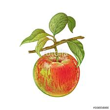 realistic apple tree drawing. Unique Apple Realistic Drawing Of Apple On Apple Tree Drawing
