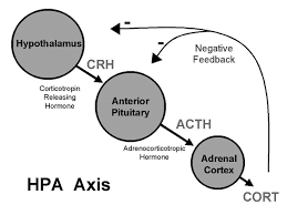 Hpa Axis The Hpa Axis Hypothalamus Pituitary Adrenal The Weston A Price