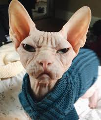 angry hairless cat.  Angry 10 Sphynx Cats You Need To Follow On Instagram  Pets Tips U0026 Advice   Momme If Grumpy Cat Were Hairless On Angry Hairless Cat