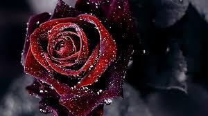 red roses wallpapers rose wallpaper