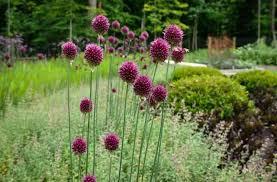 garden bulbs. Purple Sensation Allium Flower Bulbs Garden P