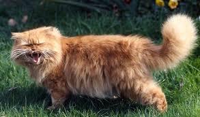 orange persian cat. Wonderful Orange Orange Persian Cat Outside Throughout Cat R