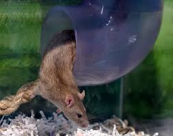 how to keep rats out of the garden night or day